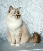 The Birman is: - A cat of great mystery - Medium size with a non-matting coat - Color Pointed Cat - Large blue Eyes - White feet & Laces - Friendly, affectionate personality - Great family cat
